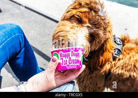 Dog eating ice cream, doggy ice cream, dog ice cream, ice cream for dogs, dog ice cream, ice cream for dog, dog ice cream, waggy doggy ice cream, tub - Stock Image