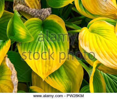Hosta — AKA plantain lily, giboshi or Funkien — turning a rich autumn color in October as it dies back for the winter. - Stock Image