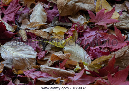 Very dry, crisp leaves large copy space in red, yellow and brown - texture and background - Stock Image
