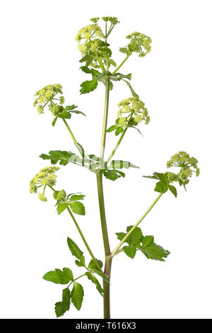 Blooming Alexanders plant isolated on white background closeup - Stock Image