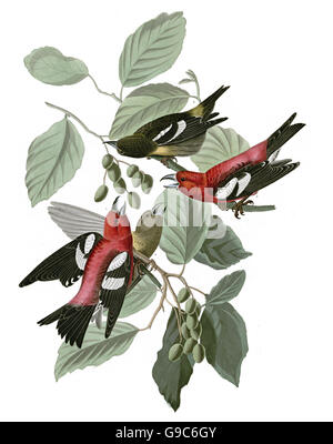 White-winged Crossbill, Loxia leucoptera, birds, 1827 - 1838 - Stock Image