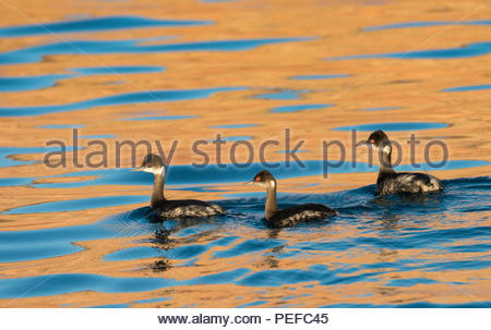 Three black neck grebes swimming at sunset at Ensenada Grande. - Stock Image