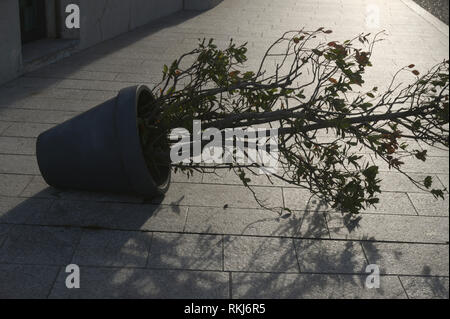 a potted plant fallen on paved street - Stock Image