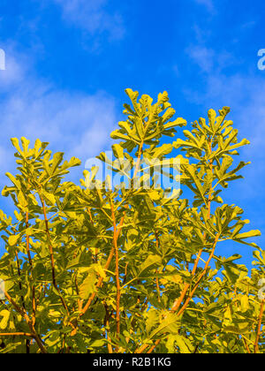 Common Fig (Ficus carica) tree against blue sky - France. - Stock Image
