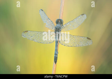 A dew-covered male Little Blue Dragonlet (Erythrodiplax minuscula) waits for the sun to heat up wings in the early morning. - Stock Image
