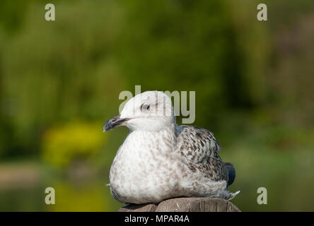 first winter European Herring gull, (Larus argentatus), resting in sunshine on wooden post, Walthamstow Reservoirs, London, United Kingdom - Stock Image