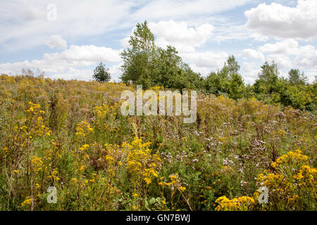 Ragwort growing beside a footpath in agricultural land near Castle Acre Norfolk England - Stock Image