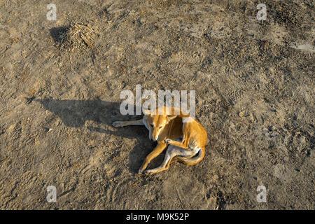 Photo of stray dog captured in Mumbai city of India. - Stock Image