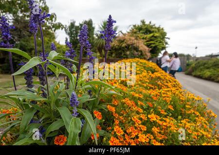 Purple Salivia Farinacea growing in amongst a border full of orange French Marigold flowers. - Stock Image