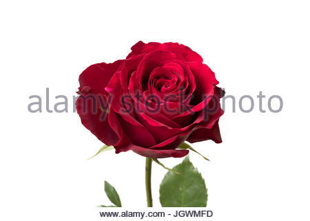 Red Rose Close Up Petals white background - Stock Image