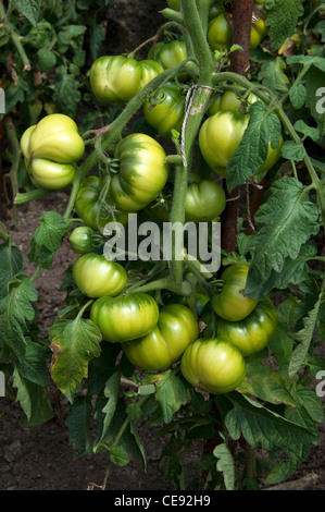 Tomato (Lycopersicon esculentum), green fruit on a plant. - Stock Image