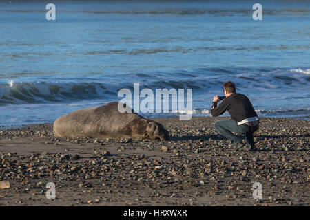 Man taking a photograph of an Elephant seal on a beach in central California with a smartphone. - Stock Image