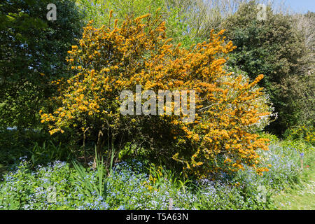 Berberis darwinii (Darwin's barberry) evergreen shrub with orange flowers and spine-toothed leaves in Spring (April) in West Sussex, England, UK. - Stock Image
