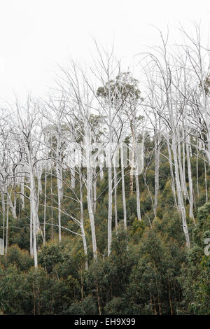 Trunks of burnt-out snow gums in Mount Buffalo National Park, Victorian high country, Victoria, Australia - Stock Image