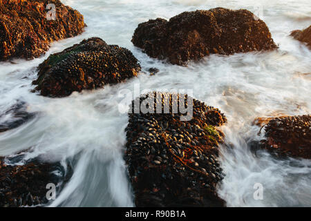 Long exposure of shellfish covered rocks and incoming surf and waves at dusk, Point  Reyes National Seashore, CA - Stock Image