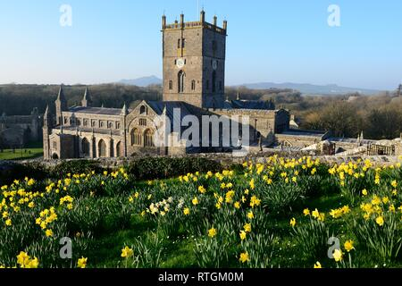 Daffodils the national flower of Wales in front of St Davids Cathedral Pembrokeshire Wales Cymru UK - Stock Image