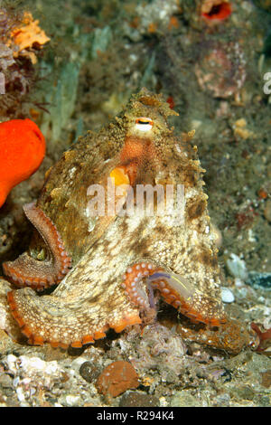 Common Sydney Octopus, Octopus tetricus. Also known as the Gloomy Octopus. Nelson Bay, Port Stephens, NSW, Australia - Stock Image