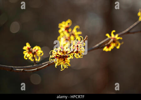 Witch Hazel, aka, Winterbloom, Hamamelis, flowers, blooming in winter. Photographed with shallow depth of field. - Stock Image