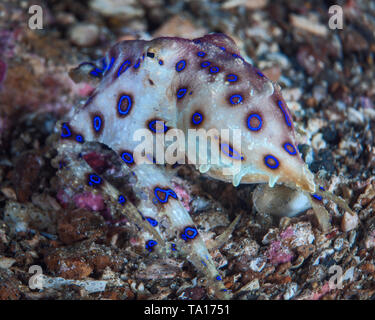Blue-ringed octopus (Hapalochlaena) swims away and escapes along the coral reef sea floor. Lembeh Straits, Indonesia. - Stock Image