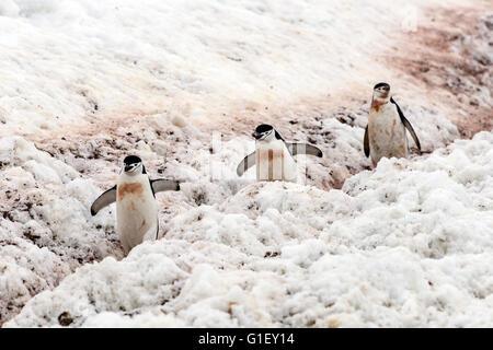 Chinstrap penguins (Pygoscelis antarctica) walking on penguin highway for nest Half Moon island Antarctic Peninsula - Stock Image