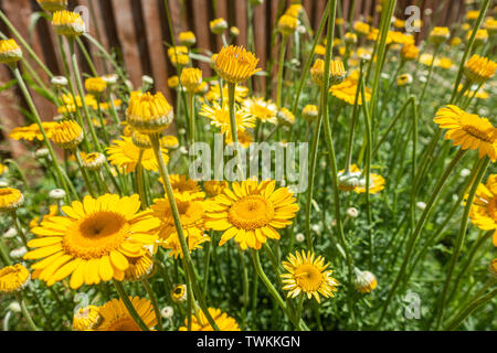 Close up view of yellow anthemis flowers in a garden - Stock Image