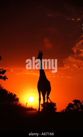 GIRAFFE and African Sunset - Stock Image