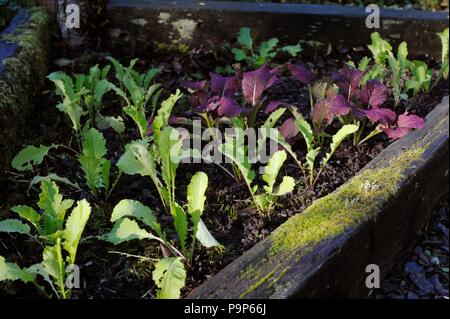 Brassica rapa, Mustard 'Green in Snow' and 'Giant Red' planted in Autumn for overwintering, Wales, UK. - Stock Image
