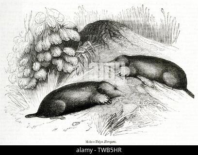 Two moles (Talpa Europaea).      Date: 1843 - Stock Image