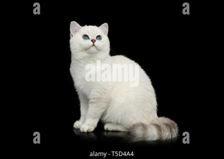 British White Cat with blue eyes Sitting and Stare up on Isolated Black Background, side view - Stock Image