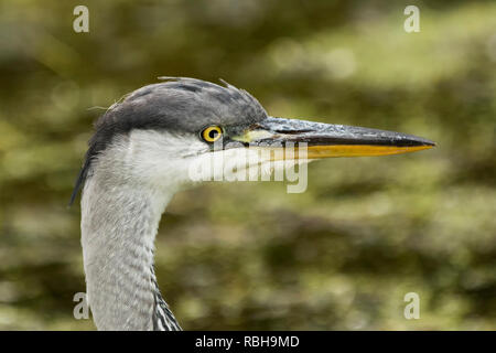 Close up photo of a Juvenile Grey Heron (Ardea cinerea) showing the head and beak. Tipperary, Ireland - Stock Image