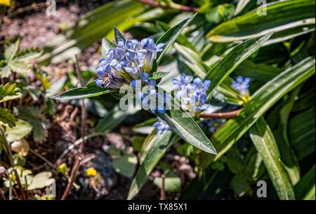 Italy Piedmont Turin Valentino botanical garden - Gentianaceae - Gentiana Parryi Engelm - Stock Image