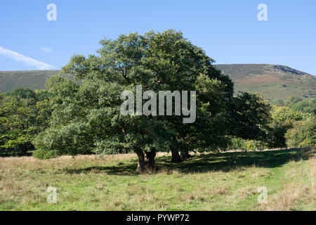 A fine group of alder alongside a traditional pathway in Herefordshire near Longtown - Stock Image