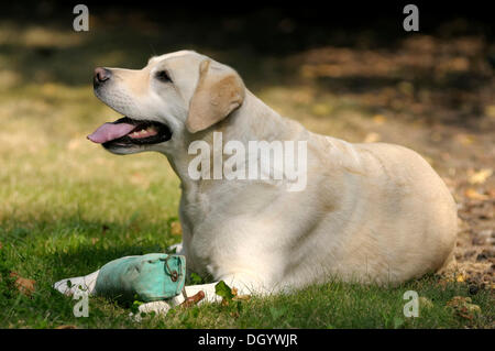 Blonde Labrador-Retriever lying on the ground with a dummy on its paws - Stock Image