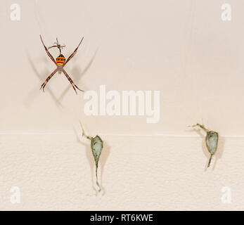 Female St Andrew's Cross Spider (Argiope keyserlingi) with the male above and two egg sacs, Cairns,  Far North Queensland, QLD, FNQ, Australia - Stock Image
