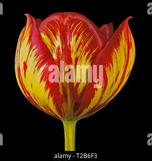 Close up studio portrait of an English Florists' Tulip 'Lord Fredrick Cavendish' - Stock Image