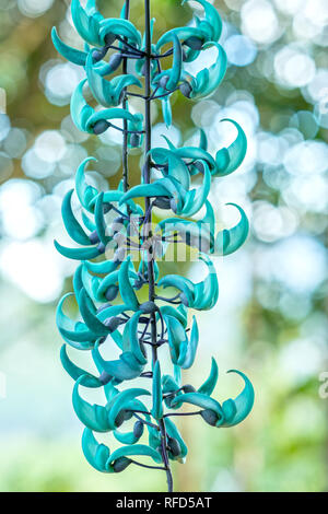 Strongylodon macrobotrys/ Jade Vine bloom as beautiful tiger nails in the garden. - Stock Image