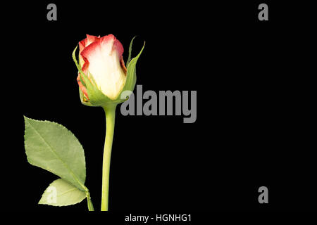 A single rose flower and stem on black background - Stock Image