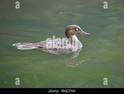 An immature male Hooded Merganser (Lophodytes cucullatus) swimmimg in a lake in Southern England - Stock Image