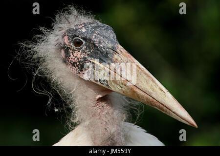 Close-up of the head of an African Marabou Stork (Leptoptilos crumeniferus). - Stock Image