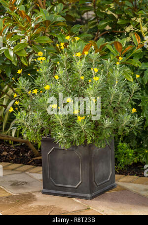 Euryops pectinatus, African daisy,growing in a pot,  flowering in winter, Devon, UK - Stock Image