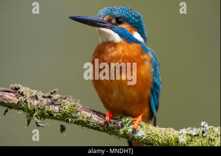 A Male Kingfisher (Alcedo atthis) perched on a branch above a river in the UK - Stock Image