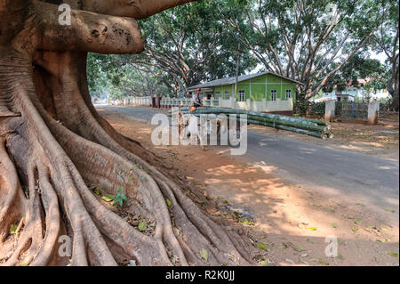 Man with oxcart carrying bamboo tree trunks in Pindaya, Shan, Myanmar Banyan tree roots in the foreground - Stock Image