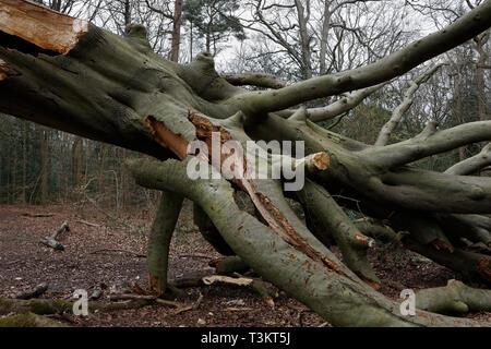 Fallen tree, Ecclesall Woods, Sheffield UK - Stock Image