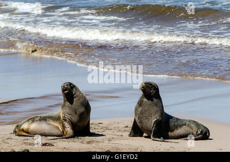 New Zealand or Hooker's sea lions (Phocarctos hookeri) on the beach Enderby island New Zealand - Stock Image