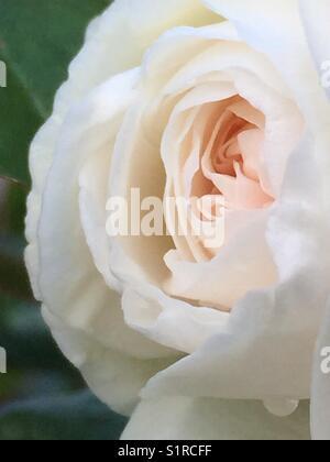 Macro of iceberg rose bud opening - Stock Image
