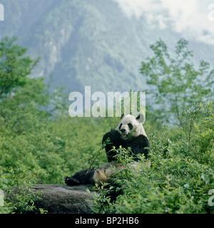 Giant panda sitting on rock feeding on bamboo, Wolong, Sichuan, China - Stock Image
