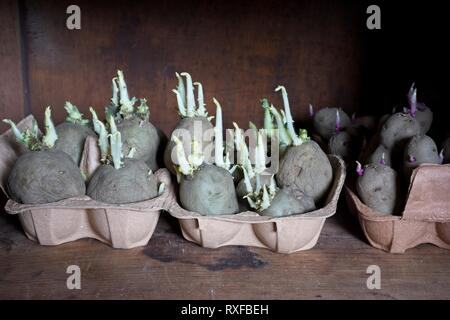 Chitting seed potatoes in an old egg box - Stock Image