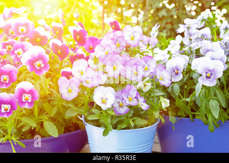 Purple, violet and blue pansy flowers in 3 different pots on a balcony table in bright spring sunlight, background template - Stock Image