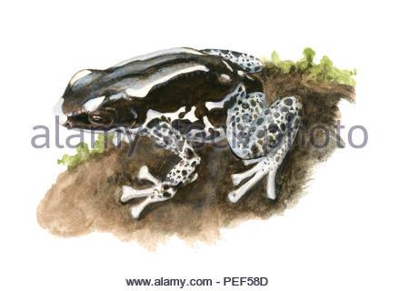 fawn frog graubeiner dendrobates - Stock Image