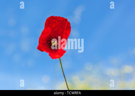 Red poppies in the green grass against the blue sky. - Stock Image